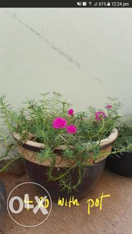 Plant with pot for saler