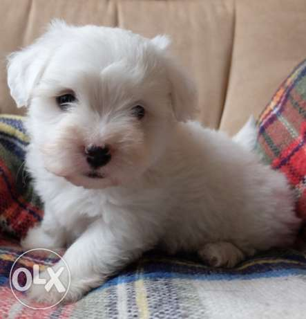 Kc Registered, Health Tested Coton Puppies