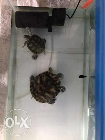 Turtles For Sale (02nos)