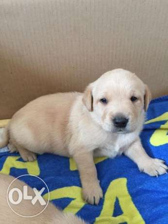 Labrador Puppies for sale - beautiful
