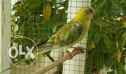 Elegant and Healthy Red-rumped parrot Female