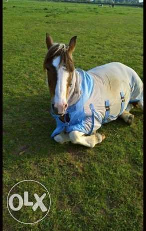 Pretty Skewbald Mare available