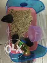 6 hamsters family for sell