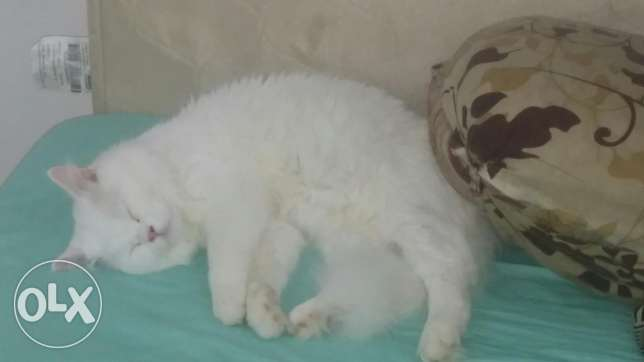 Persian cat male 18 months old 60 RO Alkhuwair مسقط -  3