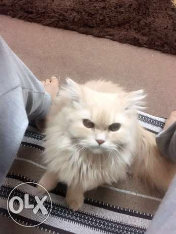 For sell Cat قطه شيرازيه