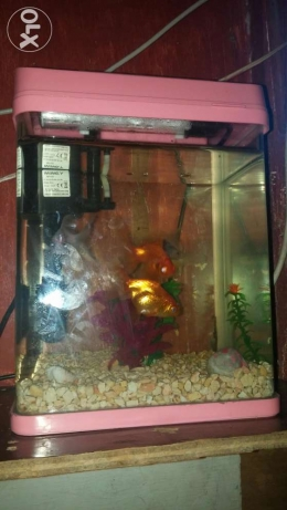 Medium size Aqurium for emergency sale with 4 gold fish and a turtle