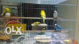 Friendly Love birds with new cage