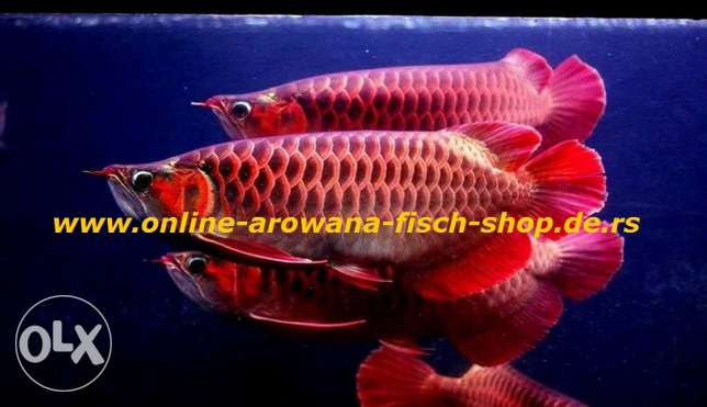 Top quality Grade AAA Asian Arowana fishes