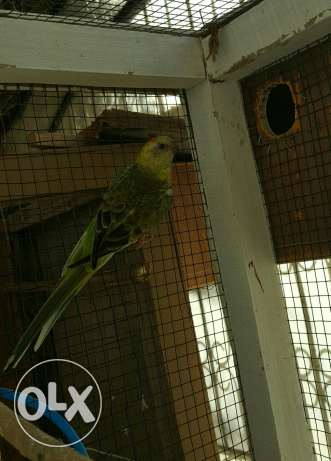 Elegant and Healthy Red-rumped parrot Female مسقط -  5