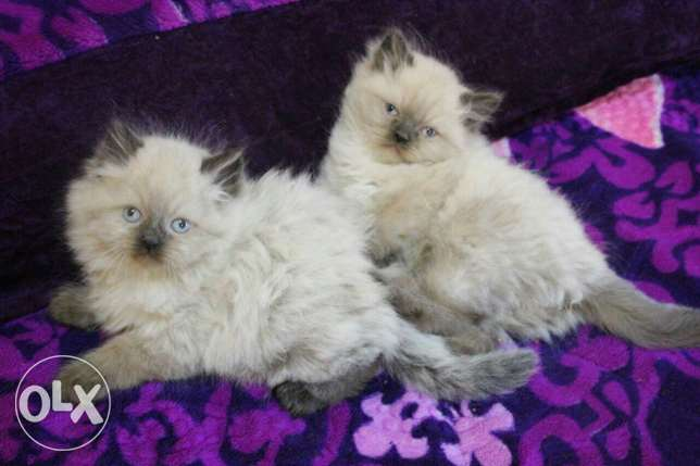 Pure Kittens 2 month for Sale السيب -  1