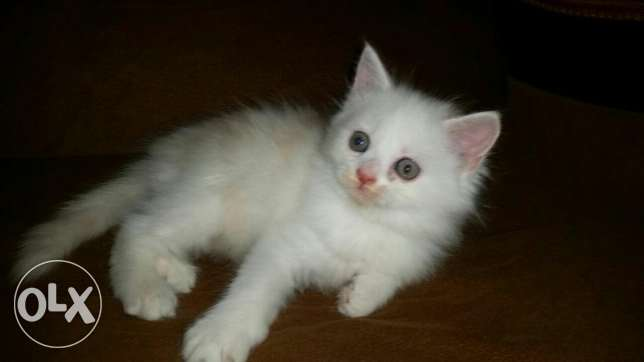 Male Persian kitten for sale