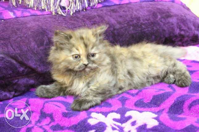Pure Kittens 2 month for Sale السيب -  4