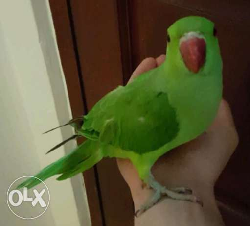 Strong Quality Tame Baby Indian Ringneck Parrots ready to meet family