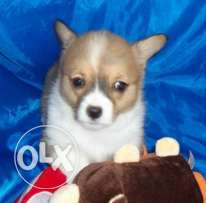 Super pembroke welsh corgi