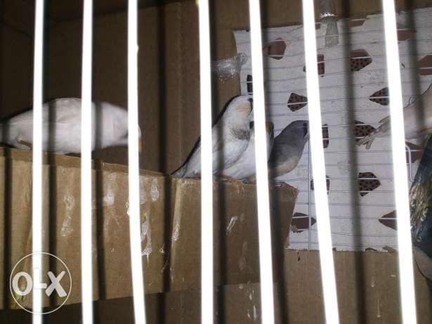 7 zebra finches for 17omr