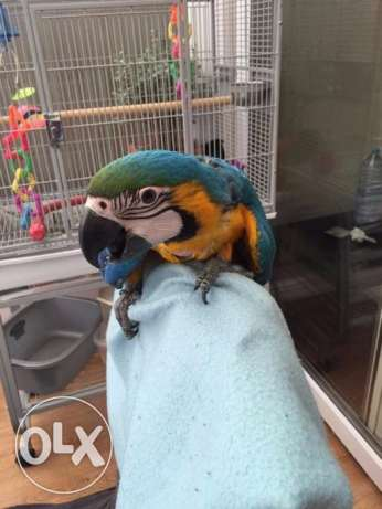 Quality Blue and Gold Macaws for sale