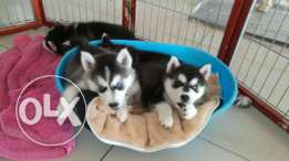 Husky for sale 450 OMR