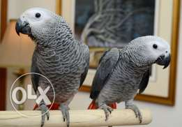 Pair of African Grey Congo Parrot