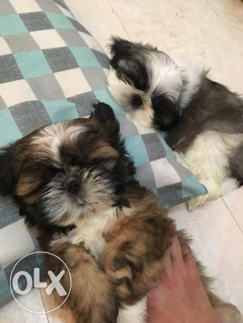 2 months old adorable male shihtzu