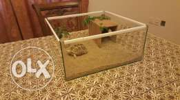 Desert Tortoise With A Nice Glass House For Sale