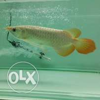 Supper red and other arowana fish available for sale