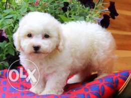 Fluffy bichon frise puppies male and female