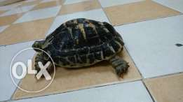 Turtle / Tortoise For sale with Cage