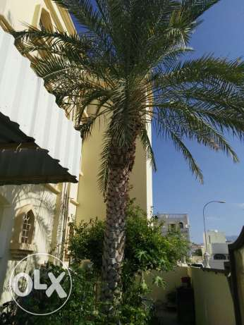 Dates Tree for free see Photo مسقط -  1