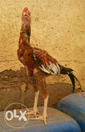 Pakistani Aseel Rooster for Sale السيب -  3