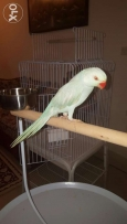 Light Blue Female Ringneck Parrot For Sale