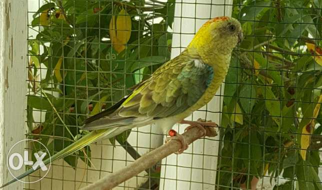 Elegant and Healthy Red-rumped parrot Female مسقط -  1