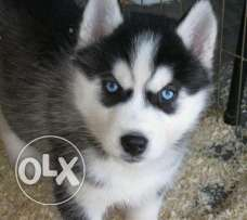 good quality husky puppy for sale immediately