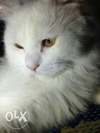 Turkish Angora Male cat. مسقط -  4
