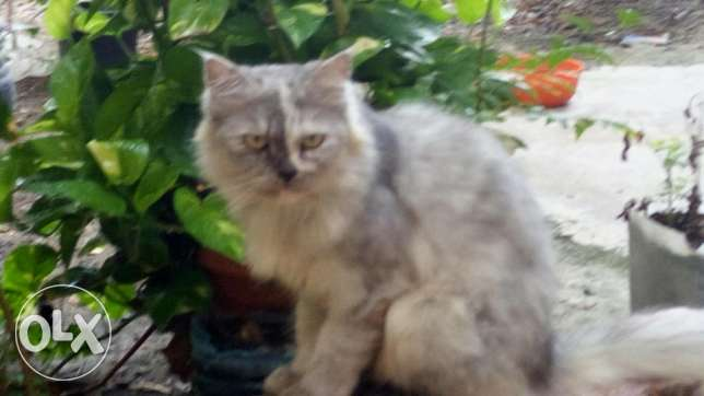 Persian cat for sell