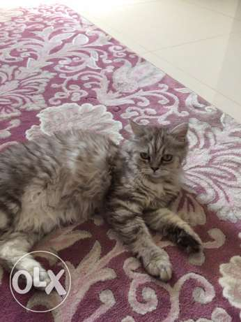 Shiraz cat for sale