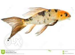 Very rare butterfly koi for sale!