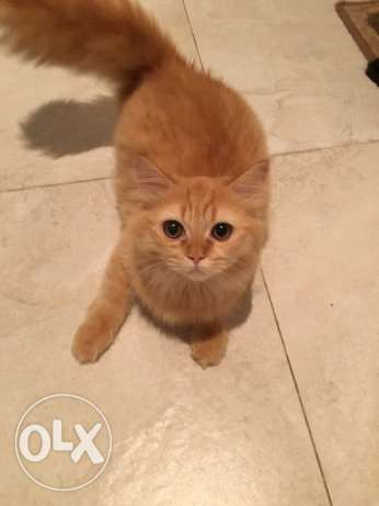 Male 6 month old Tukish Persian