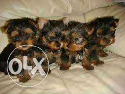 Registered Yorkie Puppies for Adoption