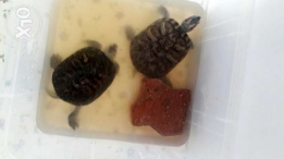 5 years old turtles  very naughty and beautiful.interested person please contact price negotiable.