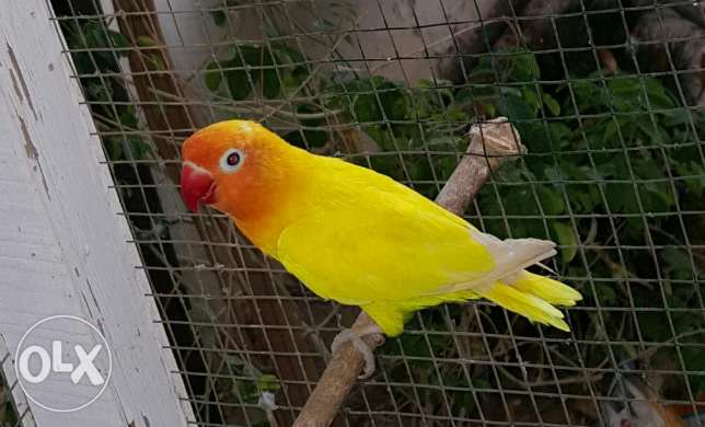 A Male Of Yellow Colour & Orange Head Fischer For Sale