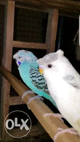 Extremely Beautiful Double Crested Budgie Males