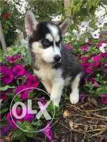 M/F Siberian Husky pups for sale now..