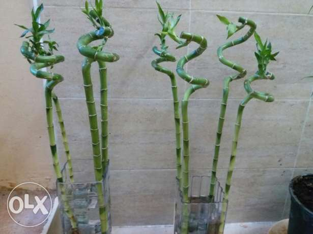 2 glass vases with 8 bamboo trees 20 rials