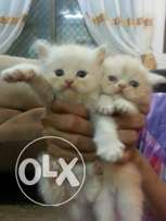 2 month Kittens for Sale