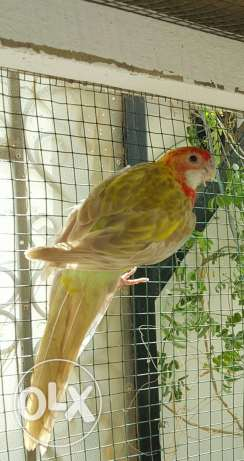 Jumbo Size Eastern Rosella Male In Gorgeous Colours