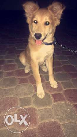 Golden Retriever جولدن ريتريڤر