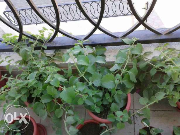 Ajwain ( Nanakha ) plants for sale. مسقط -  1