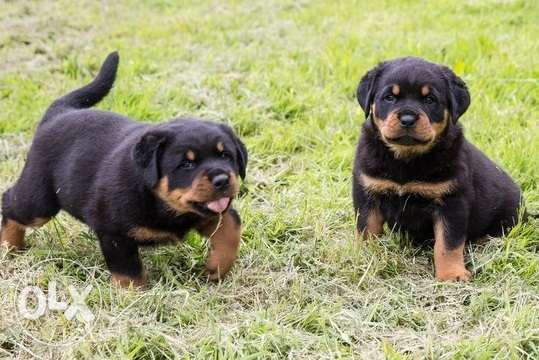 Affectionate Rottweiler puppies Available
