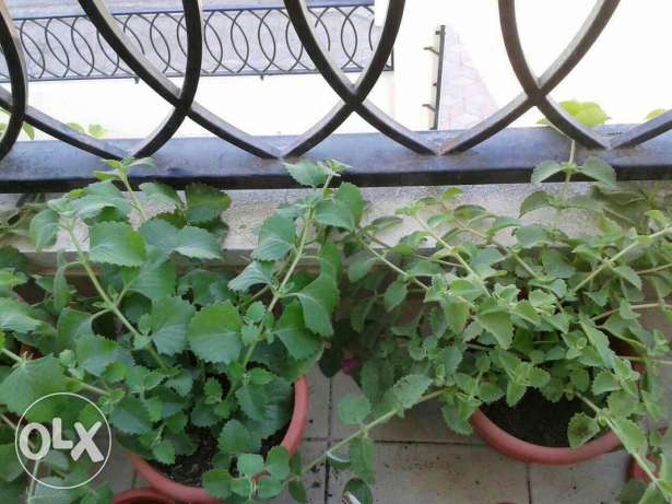 Ajwain ( Nanakha ) plants for sale. مسقط -  2