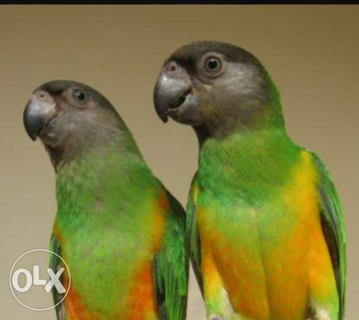 Kili Senegal Parrot Pair مسقط -  1